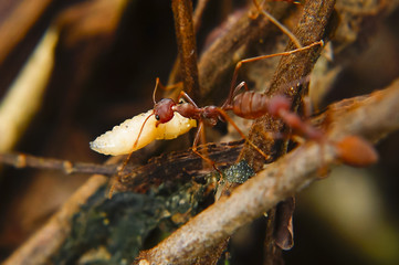 Fire Ants Teamworks Carry Maggots To The Nest, Selective Focus