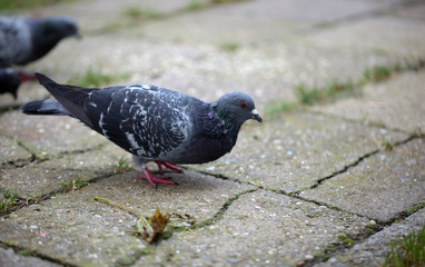 pigeon standing on a pavement and grass