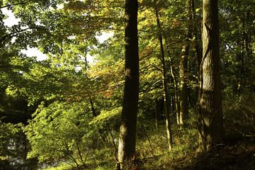 Sunset light through Fall forest