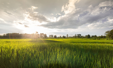 Rice fields and sunset for background. Golden Rice fields. Rice fields Thailand. Rice fields with car on the road.