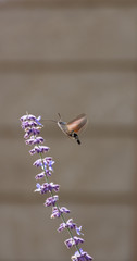 Hummingbird Moth sucking nectar from a lavender blossom. Photographed with a shallow depth of field in natural light.