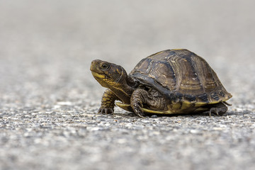 little box turtle