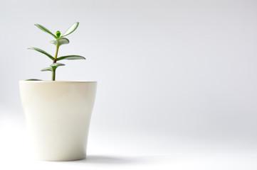 Fototapeta Drzewko szczęścia w białej doniczce na białym tle. obraz