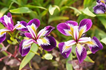 Iris versicolor purple, white and yellow flowers