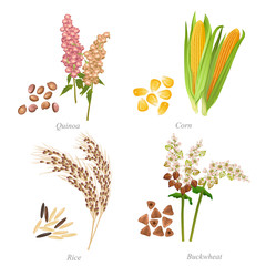 Four cereals in form of grains and ears / There are quinoa, corn, rice and buckwheat