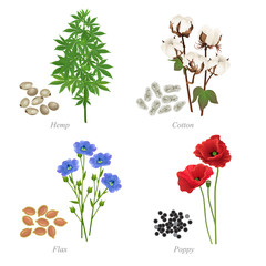 Four oilseeds in form of grains and plant / There are hemp, cotton, flax and poppy