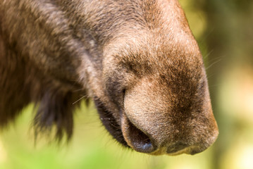 Detail of adult female moose (Alces alces) nose.