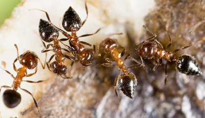 small ants in nature. macro