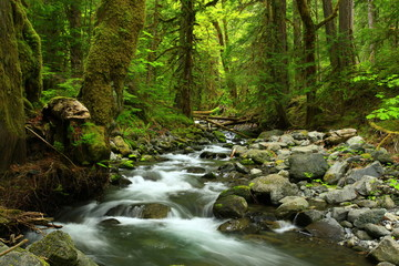 a picture of an Pacific Northwest forest and fresh water creek