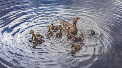 Mutter Ente mit kleinen Küken schwimmend im Wasser bei Sonne im Sommer in Schweden