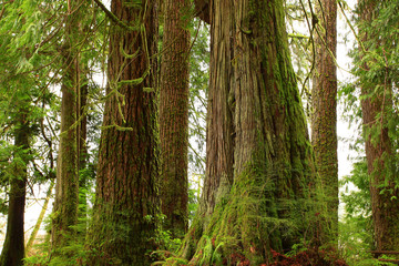 a picture of an pacific Northwest rainforest with conifer trees