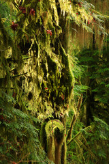 a picture of an Pacific Northwest rainforest with a mossy Big leaf tree
