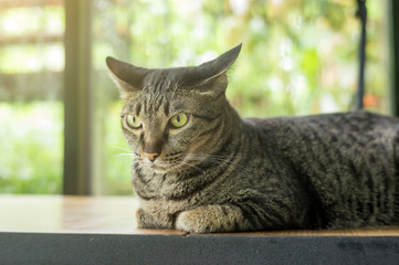 gray striped cat lying on a wooden table.