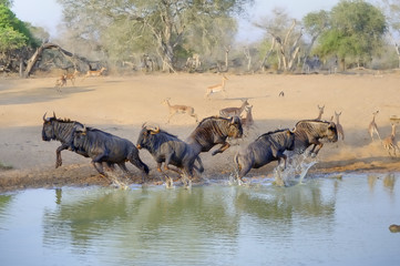 Wildebeest (Connochaetes taurinus), aka Brindled Gnu in a panic at a waterhole