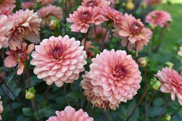 Photo sur Plexiglas Dahlia Dahlia rose en été au jardin