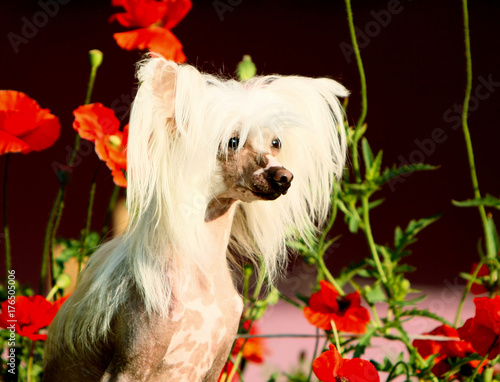 White Chinese Crested On A Background Of Red Flowers