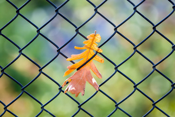 Fall Leaf Caught on a Fence
