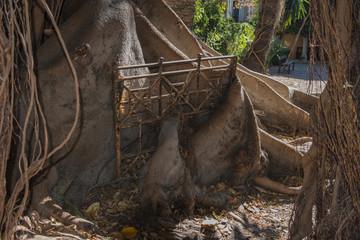 Ficus Macrophilla's roots.
