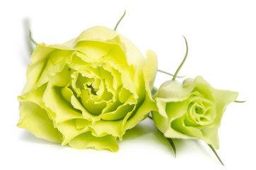 two  green roses lying on white background