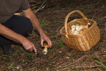 Picking Porcini mushrooms (boletus edulis) in Forest - Basket of edible mushroom