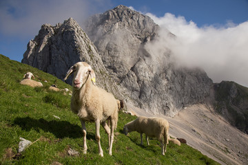Sheep at green highland meadows - pasture on mountain Mangrt, Triglav National park, Slovenia