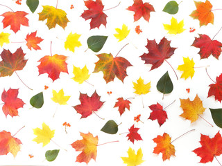 Maple leaves on a white background, flat design. Autumn background. Autumn colorful leaves, top view.