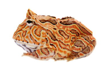 The Fantasy horned frog isolated on white