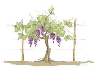 Vineyard / Grape on the trellis, color vector illustration