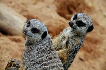 Meerkat Brothers