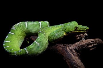 Emerald tree boa on black