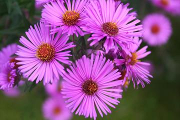 Aster frikartii o Settembrini. Fiori viola autunnali in giardino.