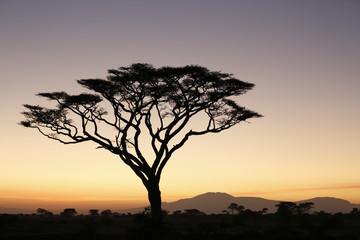 Acacia in Silhouette