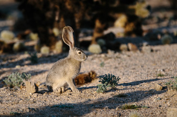 Desert rabbit among cactus with large ears adapted for hot environment