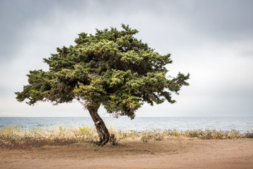 Solitary Tree Next to the Sea