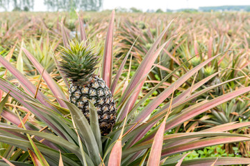 Pineapple tropical fruit growing in garden. pineapple on pineapple field.Farm agriculture concept.