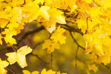 Golden maple leaves, autumn