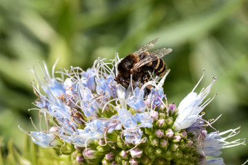 Banded bee collecting pollen from a purple blue Echium Candicans flower