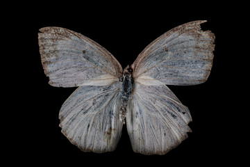 wehite butterfly (Catopsilia pyranthe)