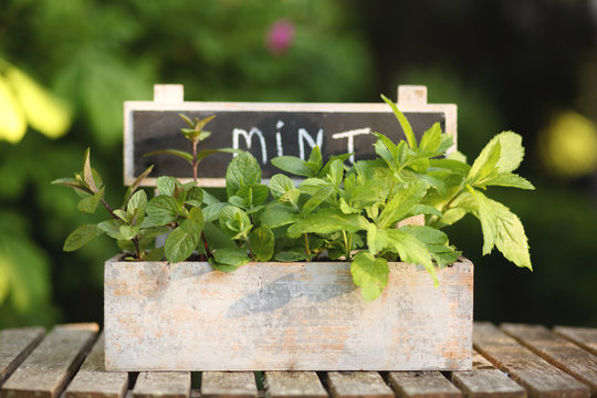 Box with mint in the garden