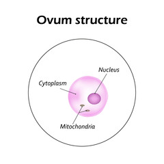 The structure of the ovum. Infographics. Vector illustration