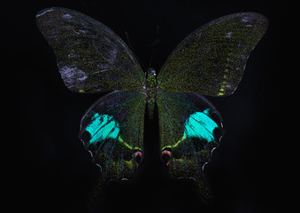 Paris Peacock butterfly on black background