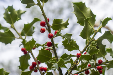 branches of holly with red berries on a blurred background