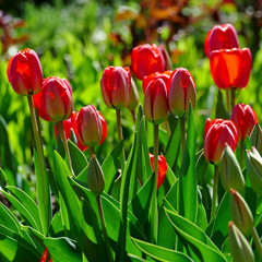 Wall Mural - Bright spring tulips on a flower bed