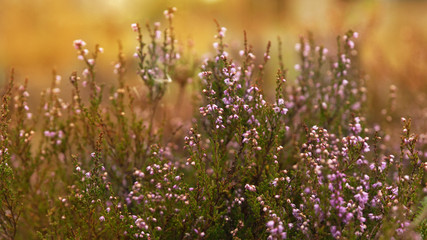 Purple pink heather flowers field close up background summer grass. Copy space, close up, selective focus, horizontal abstract. Beautiful blurred foliage sunset effect toned background.