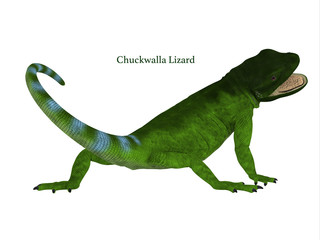 Chuckwalla Lizard Tail - The Chuckwalla is a large lizard found primarily in arid regions of the southern United States and northern Mexico.