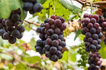 樹上の葡萄の実