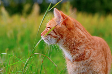 Red tabby cat walking outdoors. Portrait of a cat close-up side view