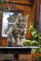 Proud Siberian cat looking ahead on patrol