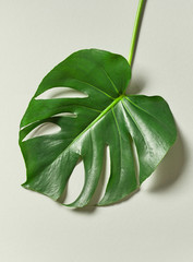 Wall Mural - tropical leaf of Monstera plant