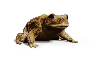 Common Toad (Bufo bufo) sitting, isolated on white background